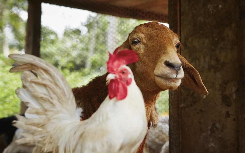 регистрация сельскохозяйственных животных