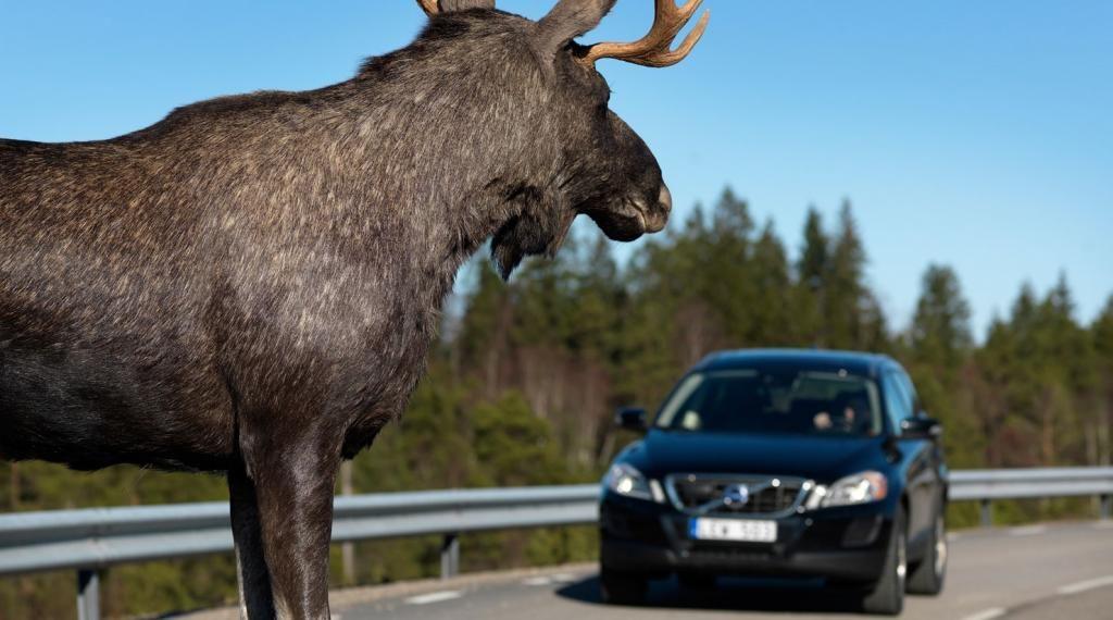 Водитель сбил лося - штрафные санкции